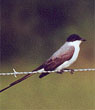 Fork-tailed Fylcatcher