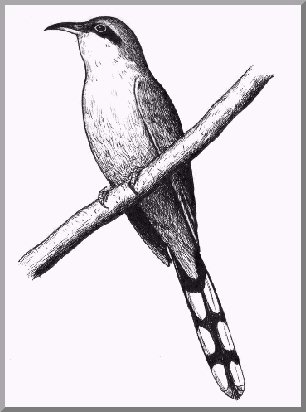 South Florida Birding logo Mangrove Cuckoo