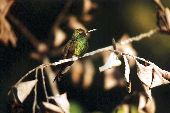 Cuban Emerald Hummingbird
