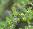 Amethyst Hairstreak