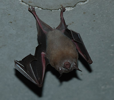 there were many many bats in the basement it is really cool how they